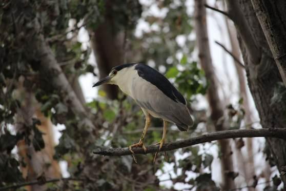 Blue Crowned night heron